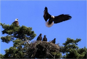 Eagle, nest with young